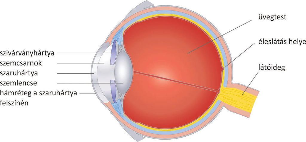 mydriasis befolyásolja a látást üröm látás kezelése