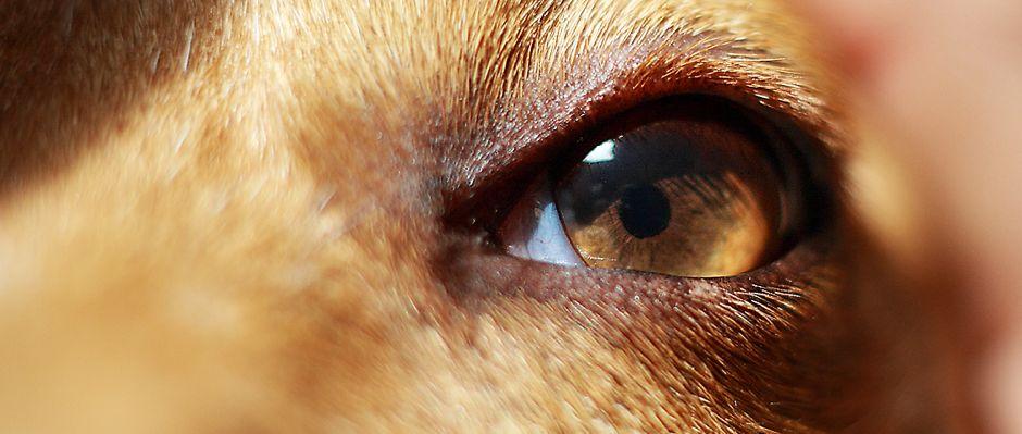 látás labradorokban