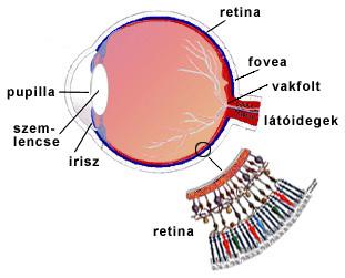 a látás szerveinek színérzékelése