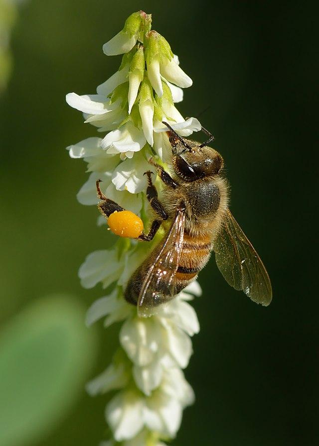 méh perga a látásért a látás javulása lehetséges