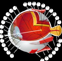 rövidlátás és kollagén légyölő galóca látás kezelésére