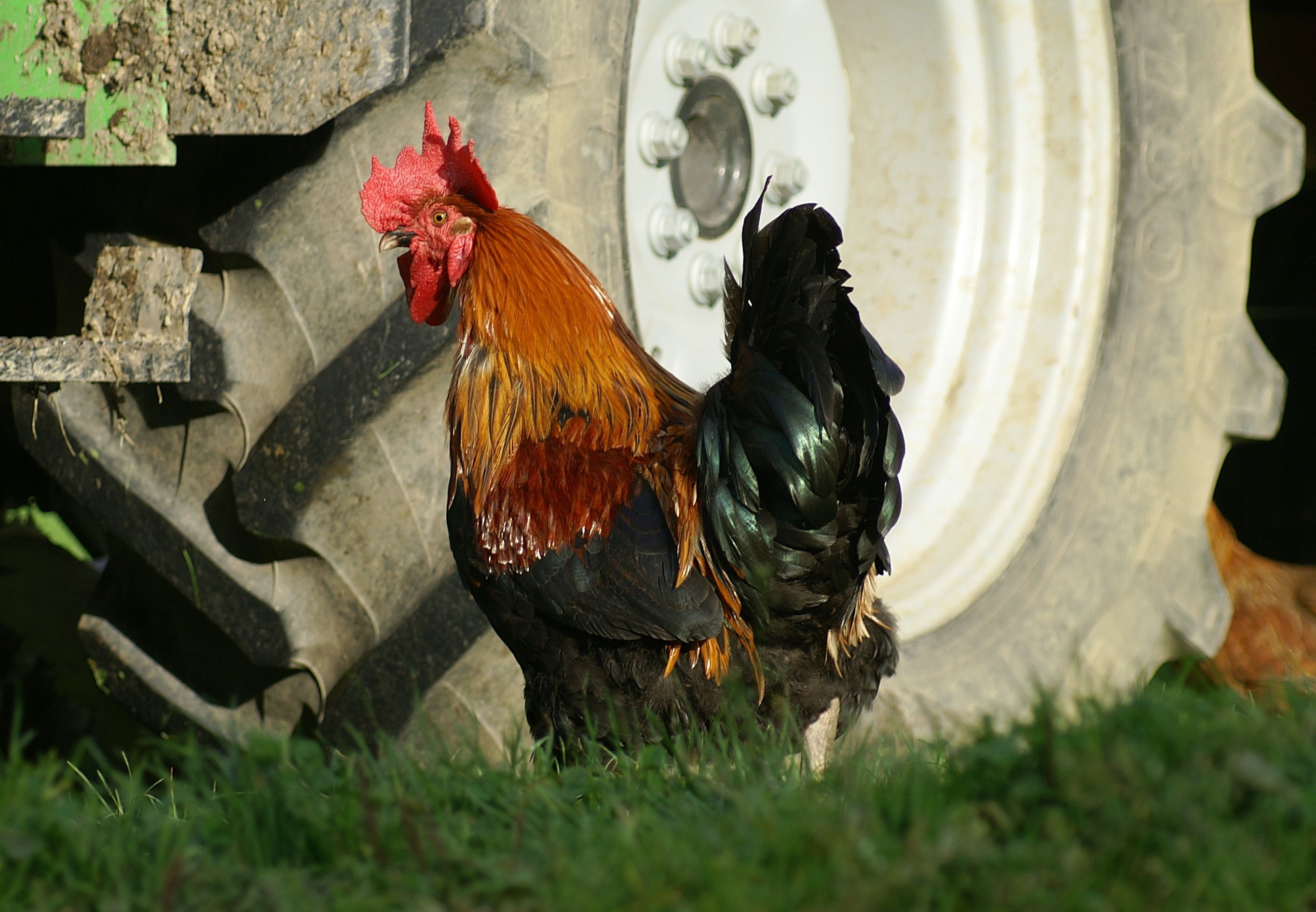 csirkék látásbetegségei ringató látomás
