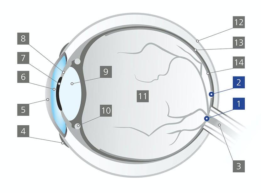 áfonya javítja a látást melatonin látás