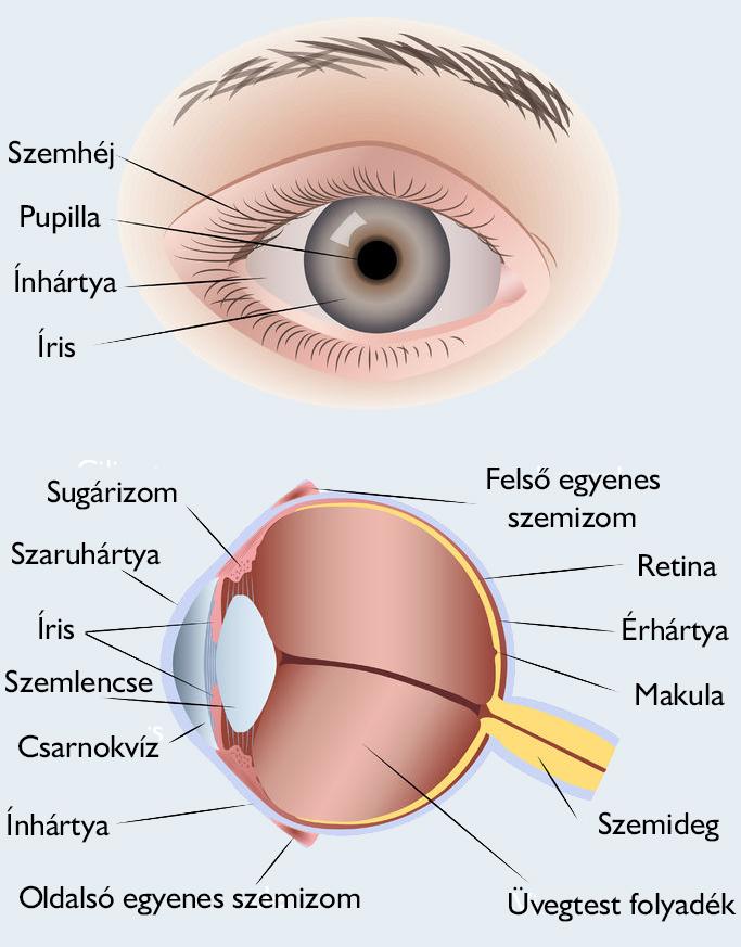 az emberi látás mínusz plusz patológia látással