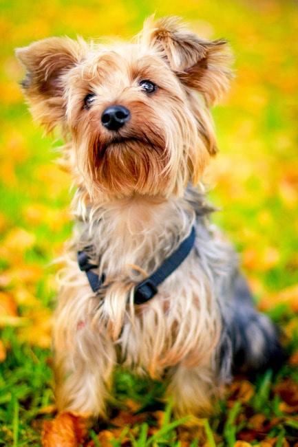 mi a Yorkshire terrier látomása myopia hyperopia nézet
