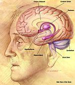 melyik agyrész felelős a látásért