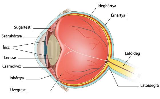 emberi látásreceptorok